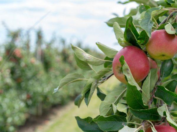 Яблоня Боровинка — тонкости выращивания