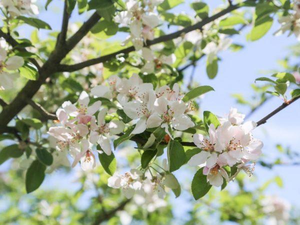 Яблоня Братчуд — особенности сорта