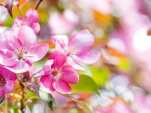 Декоративные яблони — обзор лучших сортов