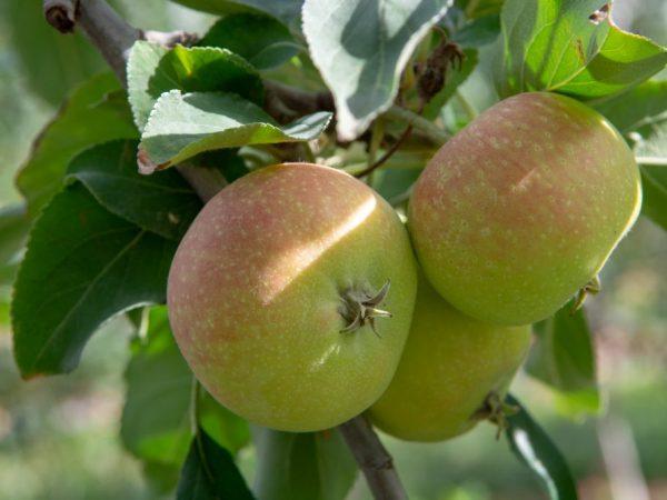 Плоды можно хранить в свежем виде долгое время
