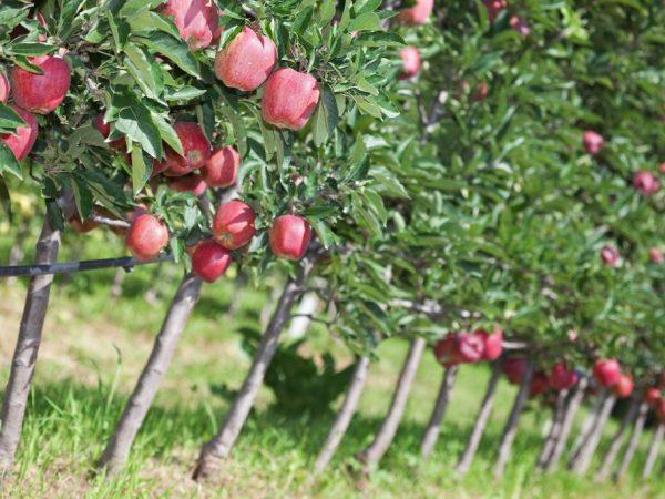 Яблоня нуждается в формировании кроны