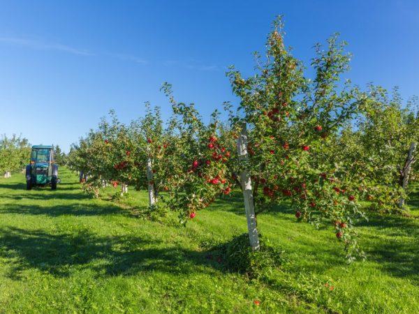 Яблоня Глостер — особенности выращивания