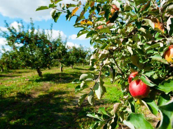 Здоровье дерева зависит от качества посадки