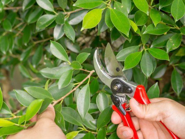 Обрезка помогает растению развиваться