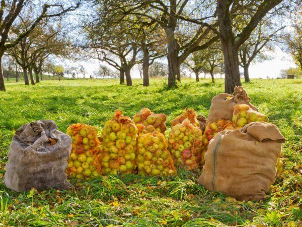 Яблоня Коричное полосатое — подробное описание сорта