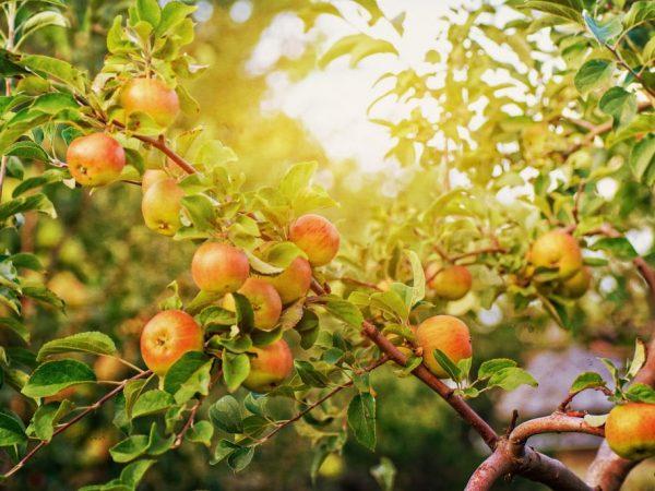 Урожайность зависит от качества ухода