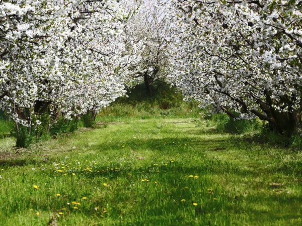 Яблони склонны к заболеваниям