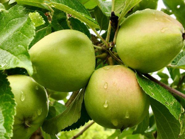 Яблоня Легенда — описание, посадка и уход