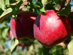 Яблоня Макинтош — обзор сорта