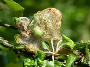 Как бороться с яблоневой молью — действенные способы
