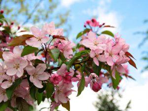 Декоративная яблоня Недзвецкого — информация о сорте