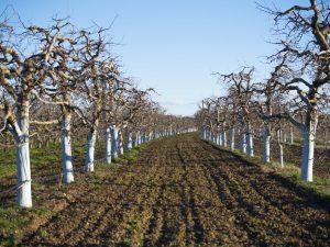 Медный купорос для обработки яблонь — правила применения
