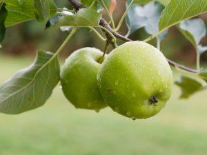 Яблоня Россиянка — основные характеристики сорта