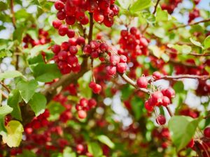 Декоративная яблоня Роял Бьюти — радость садовода