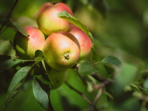 Солнечные лучи улучшают вкус плодов
