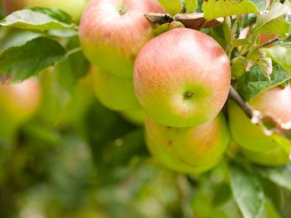 Яблоне необходима регулярная обрезка