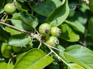 Описание, правила посадки и ухода за яблоней сладкая нега