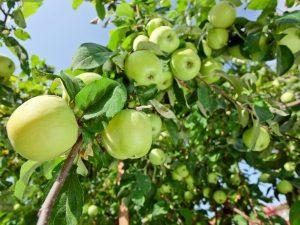 Яблоня Солнышко — главные сортовые особенности