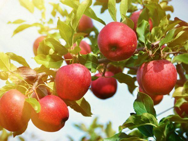 Яблоня Толунай — продуктивность сорта и вкусовые качества