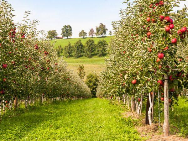 Дерево может плодоносить полвека