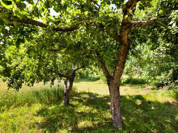 Яблоня Уралец — тонкости выращивания