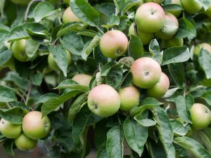 Яблоня Услада — как ухаживать за деревом