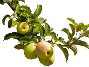 Яблоня Зеленый шум — особенности выращивания