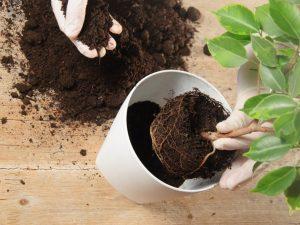 Какой грунт подобрать для фикуса — рекомендации цветоводов
