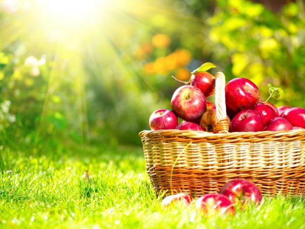 Подкормки положительно влияют на количество урожая