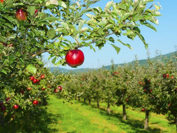 Яблоня Звездочка — настоящая находка для садоводов
