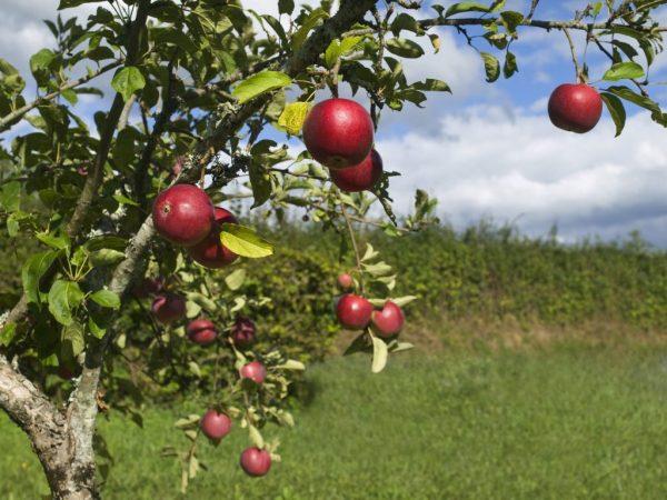 Плоды содержат много микроэлементов