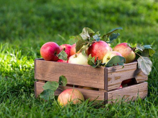 Яблоня Алеся — описание сорта