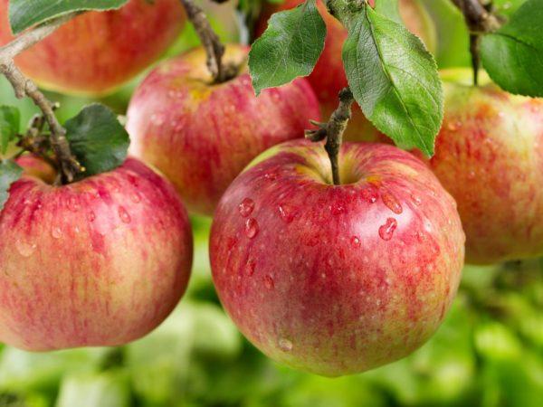 Яблоне необходимо солнце
