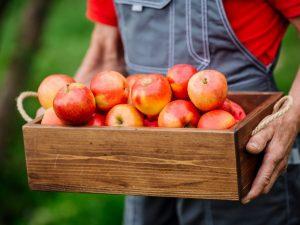 Яблоня Ауксис — правила выращивания