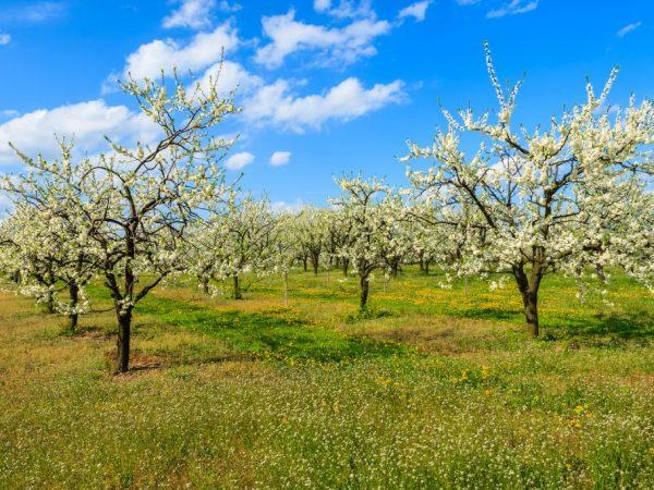 Яблони необходимо беречь от сквозняков