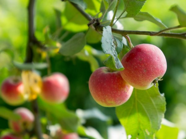 Для улучшения плодоношения производят обрезку