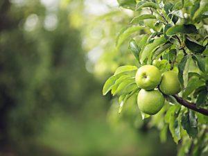 Как вырастить яблоню Хоней Крисп