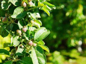 Колоновидная яблоня Триумф — характеристика сорта