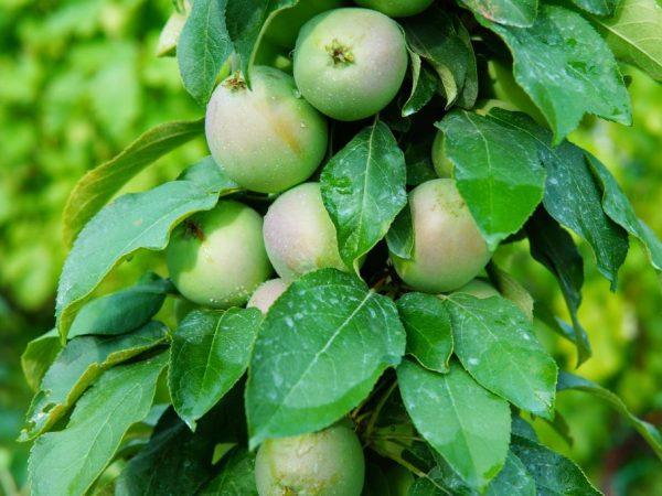 Подкормки улучшают плодоношение