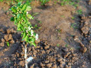 Лучшие сорта колоновидных яблонь для Сибири