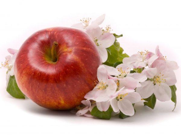 Подкормки увеличат урожайность яблонь