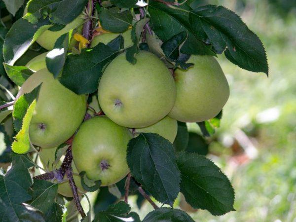 Яблоня Квинти — особенности культивирования