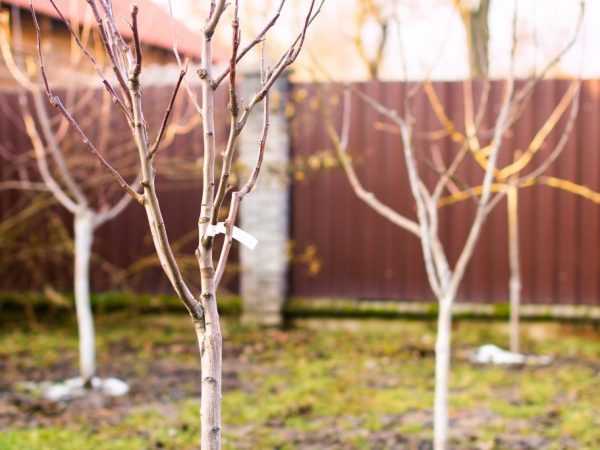 От правильности посадки зависит здоровье дерева