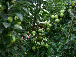 Яблоня Лигол — особенности выращивания