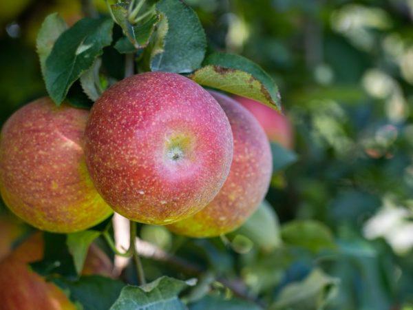 Яблони поливают теплой водой