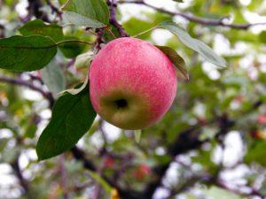 Яблоней Мельба — правила выращивания
