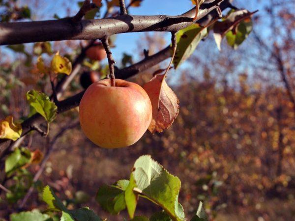 Яблоню необходимо подготовить к зиме