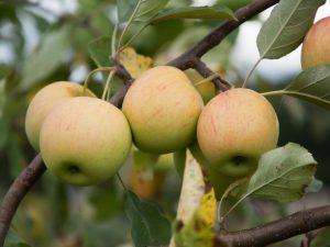 Яблоня Орловский Пионер — правила выращивания
