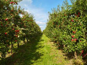 Яблоня Штрейфлинг — сортовые особенности