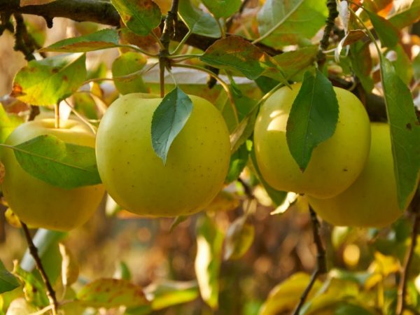 Регулярные подкормки улучшают плодоношение